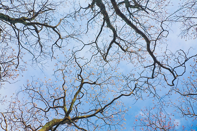 Springtime forest canopy and sky, The Priest Wilderness