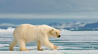 Polar bear (Ursus maritimus) runs on ice floe, Svalbard, Norwegian Arctic, Norway, Europe