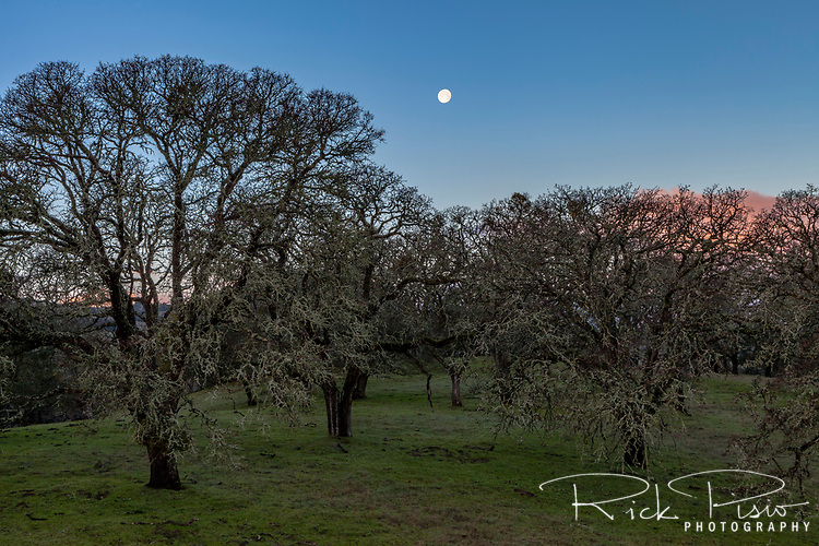 Moon over oak trees at at the Morgan Territory Regional Preserve in California's Contra Costa County.