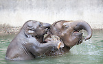 Asian elephant calf Samudra and cow Chendra plays in the elephant pool at the Oregon Zoo.