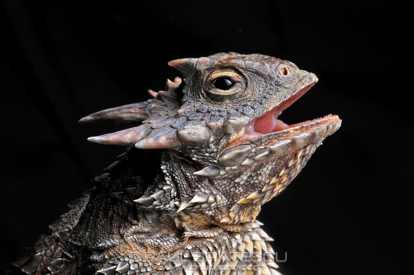 Western Coast Horned Lizard (Phrynosoma coronatum)<br /> North America California desert