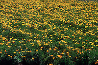 POPPIES - PAPAVERACEAE FAMILY<br /> Field Of California Yellow Poppies.