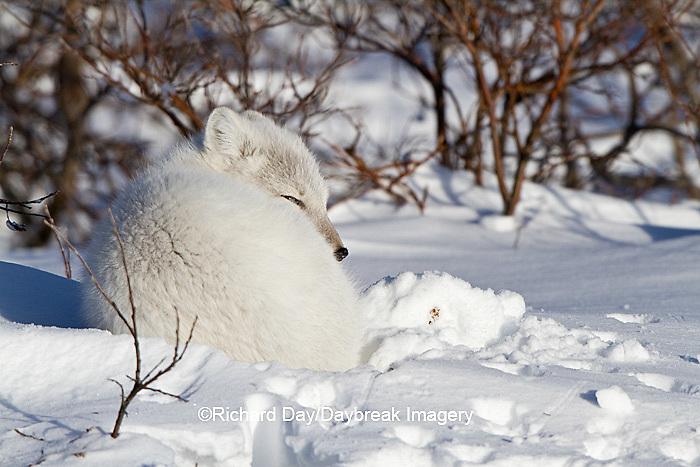 01863-01206 Arctic Fox (Alopex lagopus) in snow in winter, Churchill Wildlife Management Area, Churchill, MB Canada