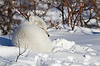01863-01206 Arctic Fox (Alopex lagopus) in snow in winter, Churchill Wildlife Management Area, Churchill, MB Canada