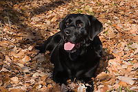 Black Labrador retriever (AKC) lying in the fall leaves.  Winter, WI.