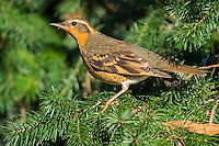 Varied Thrush, female, Washington