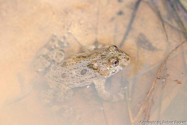 European Green Toad, Bufo viridis,  Fagaras Mountains, Transylvanian Carpathians Alps, Romania, in muddy pond