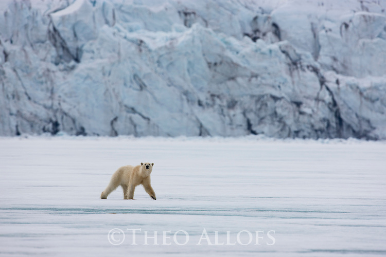 Norway, Svalbard, polar bear crossing frozen fjord