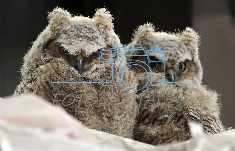 Great Horned owl babies nest in a barn in north Carson City, Nev., on Tuesday, April 18, 2017. <br />
