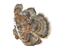 Turkeytail - Trametes versicolor