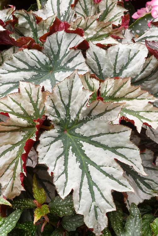 Begonia 'Looking Glass' cane-stemed tender foliage plant with ornamental leaves