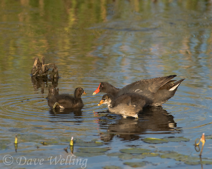 559500014 common gallinules gallinula galeata or common moorhens gallinula chloropus wild texas.Adult Feeding Chicks.Anahuac National Wildlife Refuge, Texas