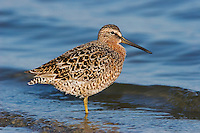 Short-billed Dowitcher  -Limnodromus griseus - Adult in Breeding Plumage
