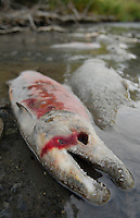 Sockeye Salmon die after spawning in Quartz Creek, Alaska. The nutrients from their bodies will feed life that sustains their offspring in the coming year.
