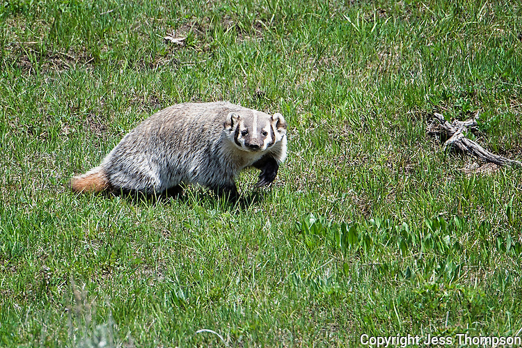 Badger, Yellowstone National Park