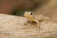 House gecko, Hemidactylus frenatus, from the Baucau district of Timor-Leste (East Timor)