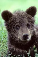 Bruine beer (Ursus arctos) jong