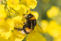 Rapeseed And A Bumblebee