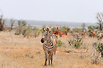 Zebras in the open landscape in Tsavo  East National Park, Kenya