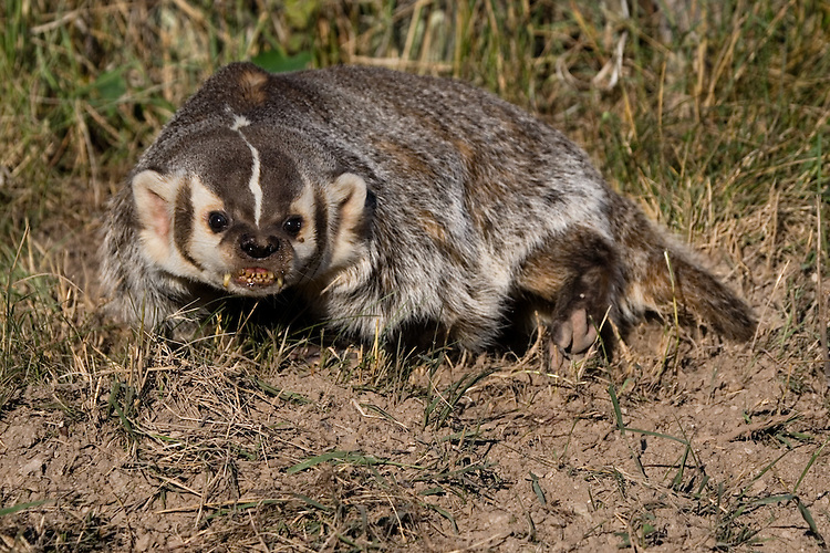 Badger snarling while digging a hole - CA