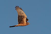 Harrier Hawk, Bosque del Apache NWR