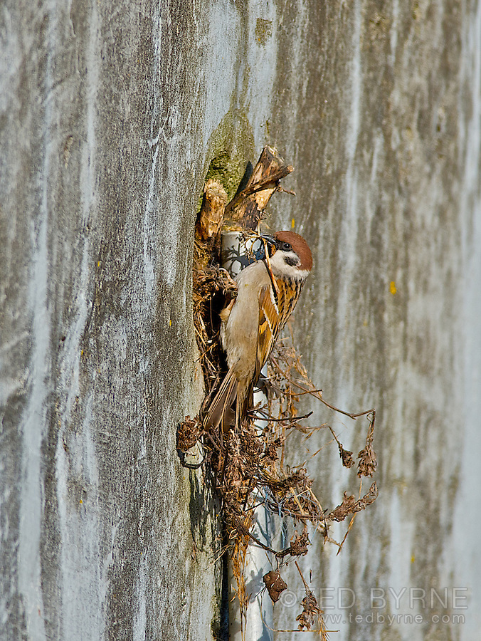 Eurasian Tree Sparrow nesting in a wall cavity
