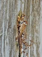 Eurasian Tree Sparrow nesting in a wall cavity