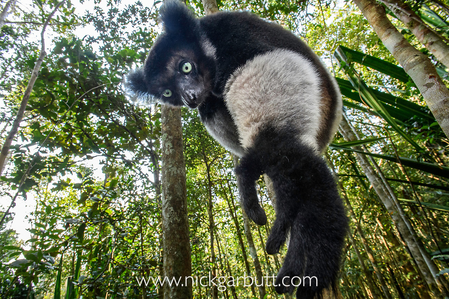 Male Indri (Indri indri) reaching for leaves / foraging in forest understorey. Mitsinjo Reserve, Andasibe-Mantadia National Park, eastern Madagascar. Endangered.