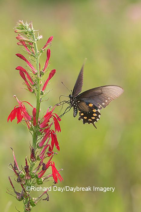 03004-01517 Pipevine Swallowtail (Battus philenor) on Cardinal Flower (Lobelia cardinalis) Marion Co. IL