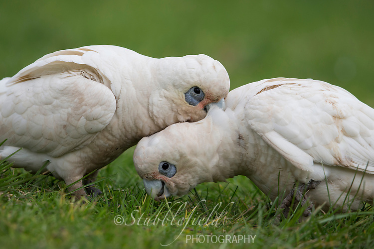 Little Corella (Cacatua sanguinea gymnopis), pair preening each other in Rymill Park in Adelaide, Australia.