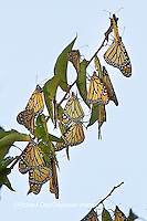 03536-05111 Monarch butterflies (Danaus plexippus) roosting on tree branch,  Prairie Ridge State Natural Area, Marion Co., IL