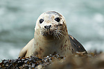 Juvenile Grey Seal (Halichoerus grypus) hauled out on seaweed covered rocks, Pembrokeshire