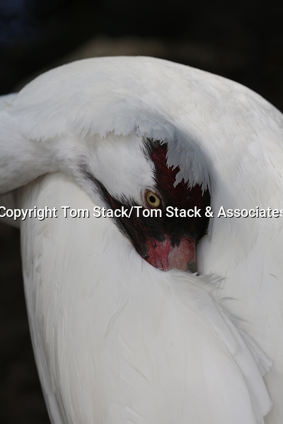 Whooping Crane, Grus americana, an endangered species. (captive)