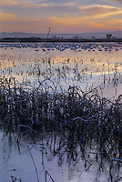 Sunrise over Wetland with snow geese, Bosque del Apache National Wildlife Refuge, Socorro, New Mexico, USA,
