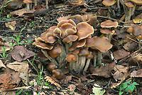 blueleg brownie<br /> Psilocybe cyanescens
