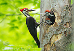 Pileated Woodpecker (Dryocopus pileatus), male feeding two nestlings (near fledging age) at nest cavity entrance, New York, USA. (Note the food item in adult's bill is a large beetle larva.)