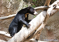 0327-1007  Sun Bear Climbing Tree, Helarctos malayanus  © David Kuhn/Dwight Kuhn Photography.
