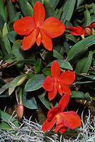 Cattleya coccinea aka Sophronitis coccinea aka Sophronitis grandiflora , species of orchid occurring in Atlantic Forest habitats, from southeastern Brazil to Argentina.
