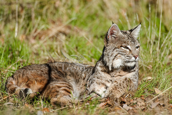Wild Bobcat (Lynx rufus) resting in grass on hillside in oak woodlands habitat, Central California.  December.  (Completely wild, non-captive cat.)
