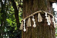 Shinto holy tree decorated by shimenawa ropes, Takao, Japan