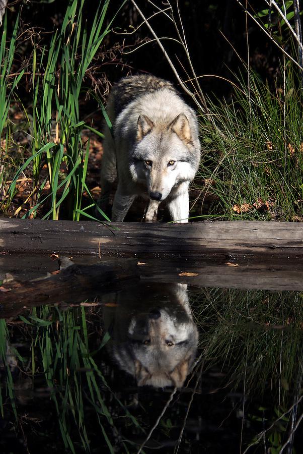 Gray Wolf Portrait in Natural Habitat