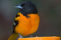Male Northern Oriole (Icterus galbula) feeding on half an orange at a feeder.  Great Lakes Region.  May.