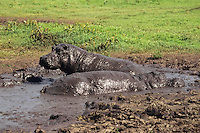 Hippopotamus keeping cool in mud hole.  Africa.  Mud also helps block the sun from sensitive skin.
