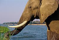 African Elephant bull feeding/using its trunk. (Loxodonta Africana) Africa.