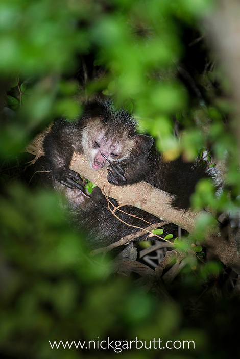 Adult aye-aye (Daubentonia madagascariensis) grooming in the forest canopy, after emerging from its nest at dusk. Near Daraina, northern Madagascar.