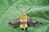 Broad-bordered Bee Hawk-moth Hemaris fuciformis Wingspan 40-45mm. An intriguing day-flying moth whose appearance and hovering flight make it look remarkably like a bumblebee. Adult has a furry yellowish-brown body with a reddish band across the abdomen, and black hair-like tufts at the tip. The wings have reddish-brown margins but are otherwise transparent. Flies May-June. Larva feeds on Honeysuckle and bedstraws. Local and restricted to open woodland in southern England.