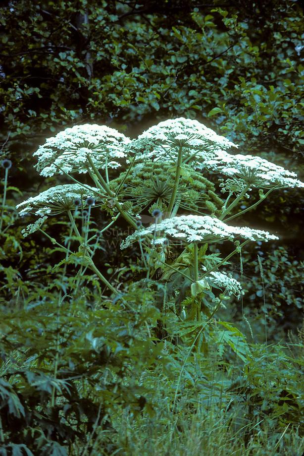 Reuzenbereklauw (Heracleum mantegazzianum)
