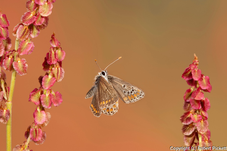 Brown Argus Butterfly, Plebeius agestis, Female, In flight, free flying, High Speed Photographic Technique.United Kingdom....