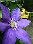 Clematis with Adirondack yellow chair. Patzel's Restaurant.