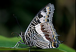 Charaxes castor Butterfly, side view, underside of wings, Congo West Africa.Africa....